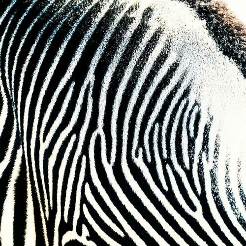 Minutiae (n) the small precise details that make one unique. EyeEm Best Edits EyeEm Best Shots Zebra Wildlife Zoo Safari Animalprint Stripes, Pattern