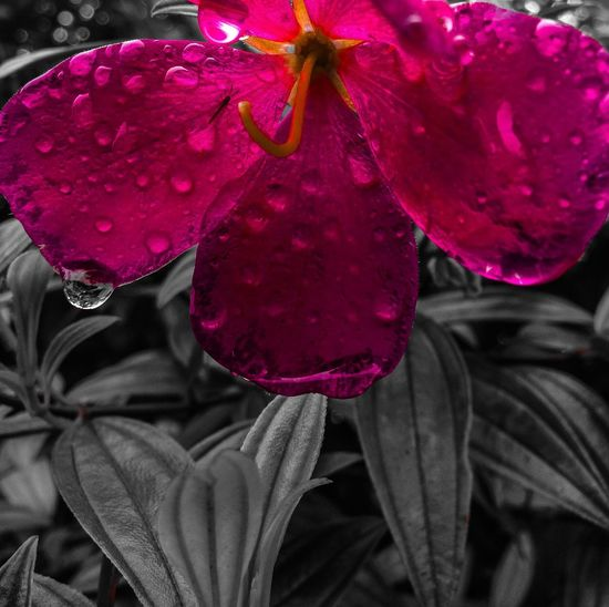 Flower Freshness Drop Growth Beauty In Nature Pink Color Close-up Wet In Bloom