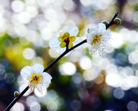Springtime Nature Flower Beauty In Nature No People Freshness Cherry Blossom Plum Blossom Tree Day Close-up Twinkling Lights