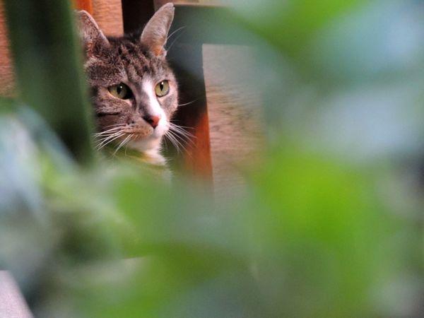 Rayitas Nikon Coolpix P510 Green Eyes Rayitas Pets Feline Whisker Ear Cute Kitten Close-up