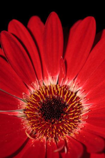 Bright red happy gerbera daisy flower Gerbera jamesonii blooms in a garden Background Daisy Flower Garden Gerbera Gerbera Daisy Gerbera Jamesonii Nature Petals Red Flower Spring Texture