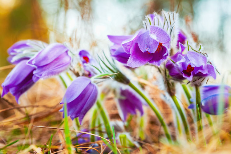 Wild Spring Flowers Pulsatilla Patens. Flowering Plant In Family Ranunculaceae, Native To Europe, Russia, Mongolia, China, Canada And United States. Pulsatilla Ranunculaceae Spring Flowers Beautiful Bloom Blooming Blossom Blue Bokeh Flora Flower Forest Grass Meadow Mongolia Nature Park Pasqueflower Petals Purple Spring Unique Violet Wild Wildflower