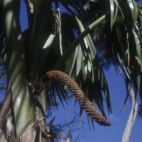 Seychelles, Praslin Indian Ocean Palm Tree Praslin Seychelles Seychelles Vallee De Mai Close-up Coco De Mer Flower Growth Praslin Tree