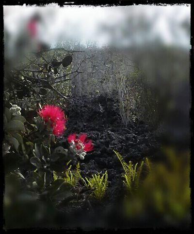 Nature Photography Ohia Trees Ohia Blossom Big Island Love ♥ Hawaii KAU Roadside USA