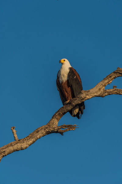 African Fish Eagle Animal Animal Themes Avian Beauty In Nature Bird Blue Branch Clear Sky Close-up Day Focus On Foreground Low Angle View Nature No People Outdoors Perched Perching Sky Sparrow Tree Wildlife
