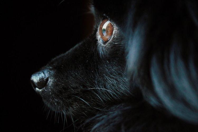 Close-up of black pomeranian looking away in darkroom