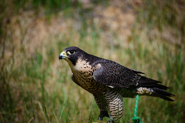 Animal Themes Animal Wildlife Animals In The Wild Bird Bird Of Prey Close-up Day Focus On Foreground Nature No People One Animal Outdoors Perching Hawk The Great Outdoors - 2017 EyeEm Awards Domestic Animals Tamron Lens Nikon D600 Nikonphotography Full Frame Beauty In Nature Portrait