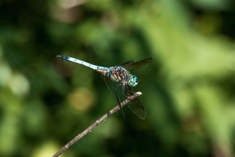 Spread Wings Full Length Insect Perching Damselfly Animal Themes Close-up Dragonfly Flapping