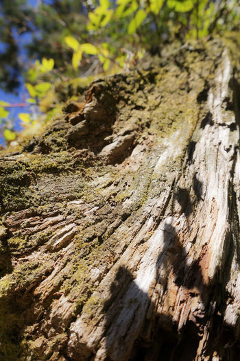 Adventure Hiking Scenics Blue Sky Cypress Nature Cypress Trees  Scenery Tranquil Scene Tree Tree Trunk Close-up Bluesky Brown Textures And Surfaces Texture Growth Wood