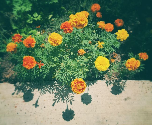 Flower Growth Plant Nature Beauty In Nature No People Freshness High Angle View Petal Marigold Day Flower Head Outdoors Blooming