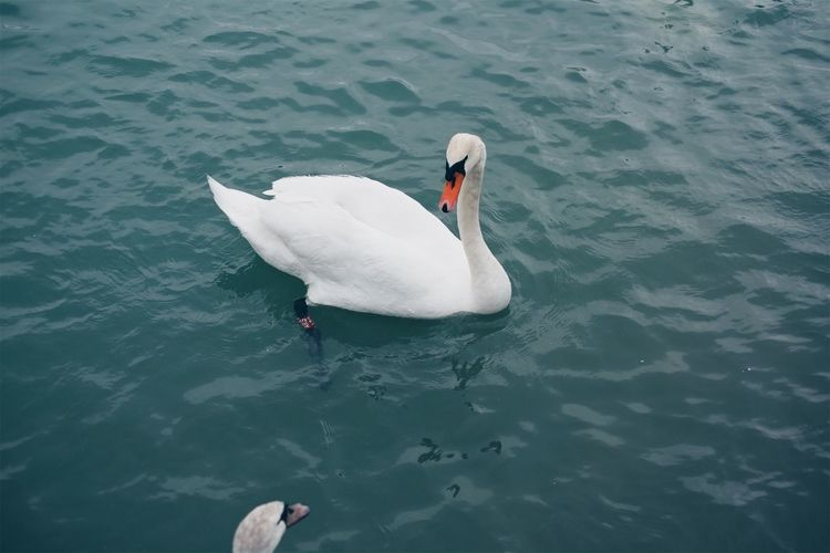 Love at first sight. Animals In The Wild Animal Themes High Angle View Animal Wildlife Swan Water Bird Waterfront One Animal Day Swimming Lake Nature Water Bird No People Outdoors