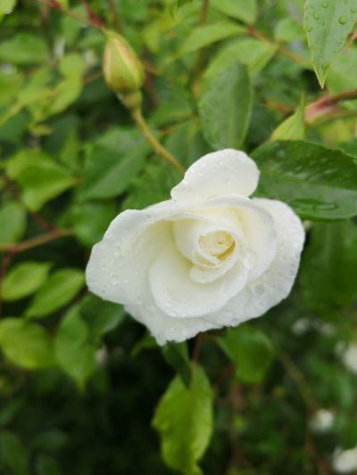 Close-up of wet white rose