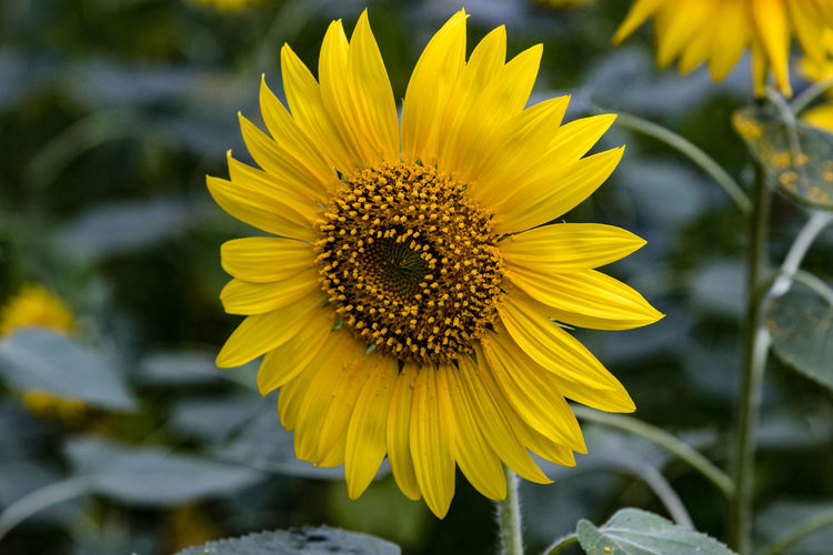 Close-up of sunflower blooming outdoors