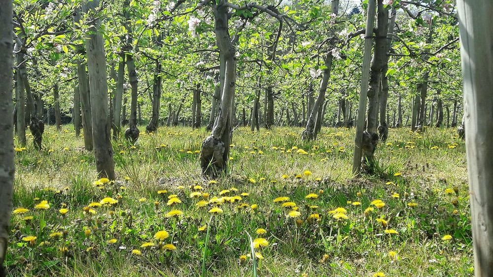 Nature Growth Fruit Tree Agriculture Fruit Plant Apple Trees  Monoculture Pesticides Pesticides Kill Bees Outdoors Green Color Spring Springtime Grass Spring Flowers Plant No People Fruitplantation Yellow Flower Green Grass Rural Scene