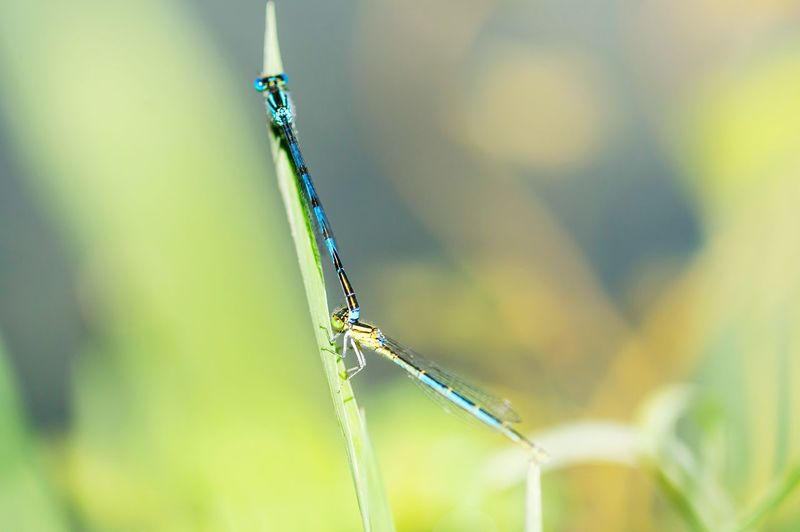 Close-up of damselfly mating on grass