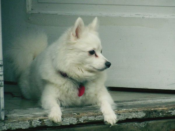 One Animal Animal Themes Domestic Animals Pets Full Length Mammal No People Day Outdoors Dog Portrait Nature American Eskimo Close-up