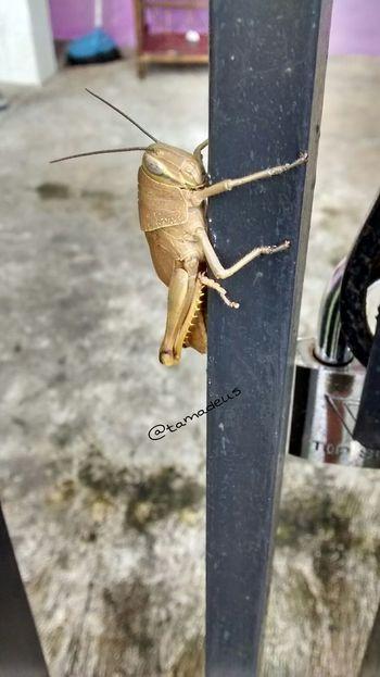 Hold tight - using my Motorola Moto G smartphone camera HD resolution. Nature Grasshopper Belalang Macro