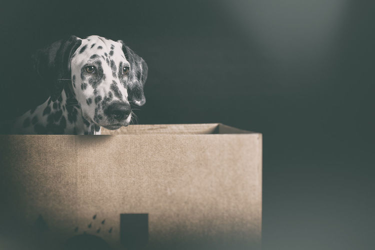 Dalmatian Dog Sitting In Box Against Black Background