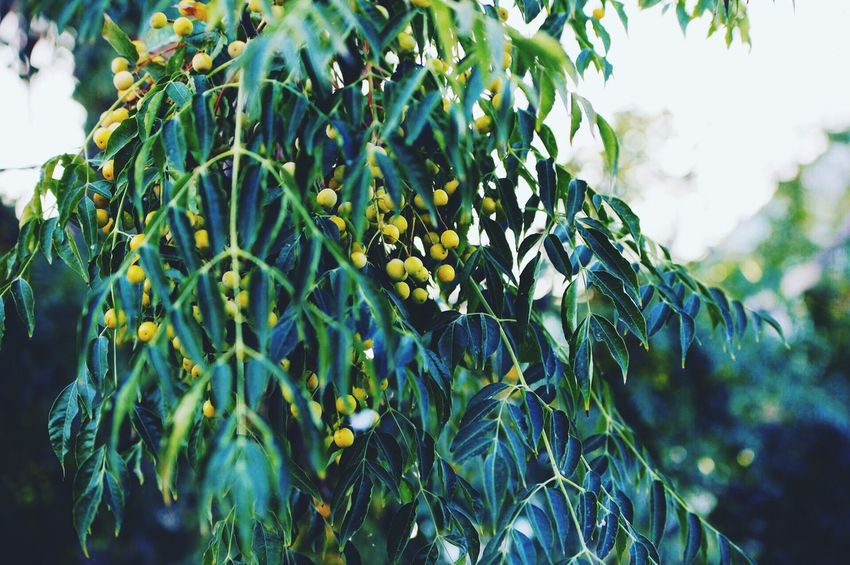 Street Photography Streetphotography Growth Nature Fruit Green Color Tree No People Beauty In Nature Plant Day Freshness Healthy Eating