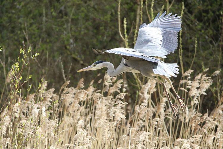 High angle view of gray heron flying