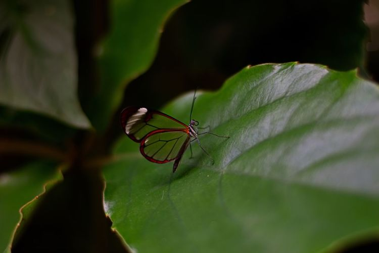 Insect Animals In The Wild One Animal Animal Themes Leaf Close-up Green Color Real People One Person Animal Wildlife Day Outdoors Nature Damselfly People Nikonphotography The Great Outdoors - 2017 EyeEm Awards Transparent Transparent Wings Naturephotography Beauty In Nature Green Great Atmosphere Nikon Photography EyeEmNewHere The Great Outdoors - 2017 EyeEm Awards