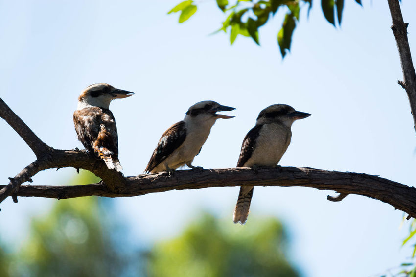 Gazisonit Kookaburra Animal Themes Animal Wildlife Animals In The Wild Beauty In Nature Bird Branch Clear Sky Day Focus On Foreground Low Angle View Nature No People Outdoors Perching Sky Togetherness Tree
