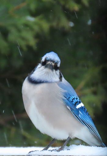 Blue jay perched on the snowy railing Birds of EyeEm closeup birdwatching focus on the foreground trees in the background beauty in nature Animal Wildlife Bird One Animal Winter Nature Snow No People