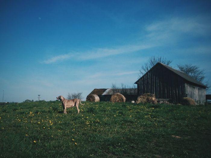 Rajgród, Poland. Weimaraner. Sky Outdoors Animal Themes Landscape EyeEm Best Edits VSCO EyeEm Best Shots Beauty In Nature Nature One Animal Weimaraner Animals
