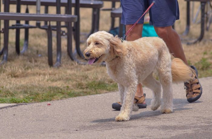 A golden doodle dog going for a run with its owner. Dogs Of EyeEm Dog Love Canine Photography Canine Companion Goldendoodles Golden Doodle Leash Run Walk Canine Goldendoodle Dog Dog Pets Domestic Animals One Person Low Section One Animal Human Leg Real People Outdoors Mammal Human Body Part Men Day People Adult Human Hand Adults Only
