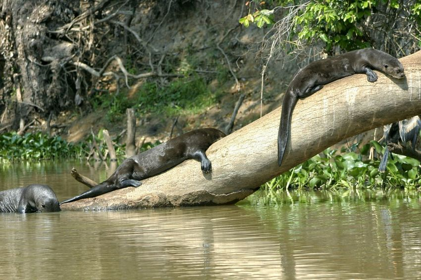 No People Nature Mammal River Water Otter Giant Otter Pantanal Brazil Wetlands Mato Grosso Do Sul Tree Trunk Tree Snakebird Darter Sunbathing Resting Three Vacation Holiday Wet Season Tropical Place Of Heart