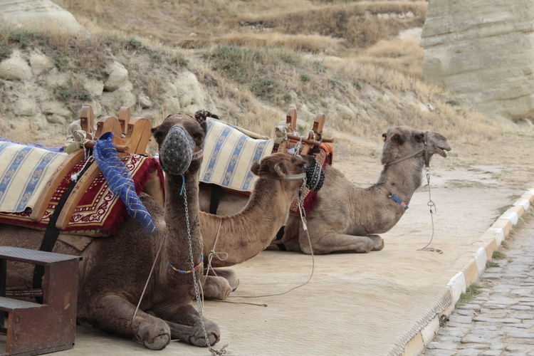 Camels sitting at roadside