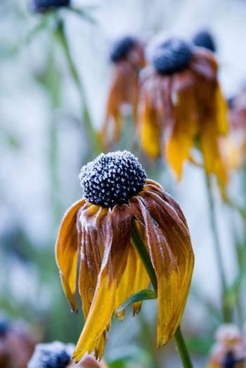 Focus On Foreground Flower Close-up Plant Fragility Vulnerability  Growth Beauty In Nature Nature Flower Head Petal No People Day Inflorescence Outdoors Yellow Plant Stem Botany Wilted Plant Rudbeckia Frozen Plant Yellow Flower Sweden