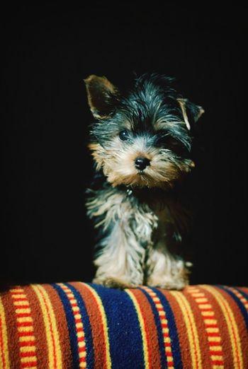 Fifi Pet Portrait Pets Yorkshire