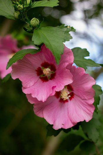 Pink Rose of Sharon Rose Of Sharon Beauty In Nature Blooming Close-up Day Flower Flower Head Focus On Foreground Fragility Freshness Growth Nature No People Outdoors Petal Pink Color Plant Wild Rose