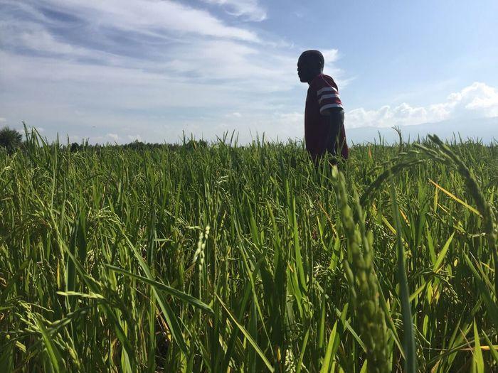 ウガンダに育った稲 ネリカ米