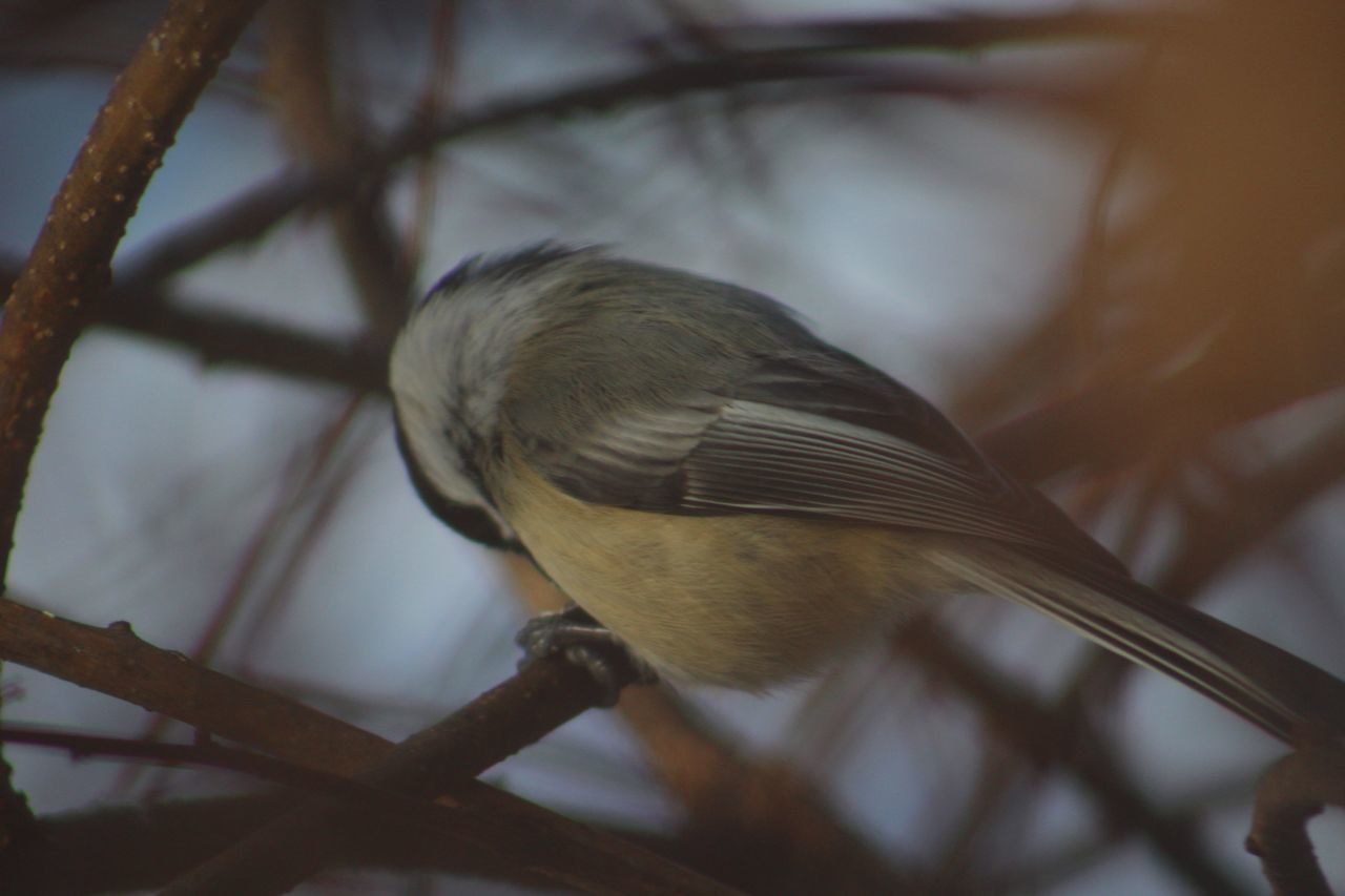 bird, one animal, animal themes, perching, animals in the wild, animal wildlife, focus on foreground, full length, close-up, songbird, no people, nature, branch, day, tree, sparrow, outdoors, beauty in nature
