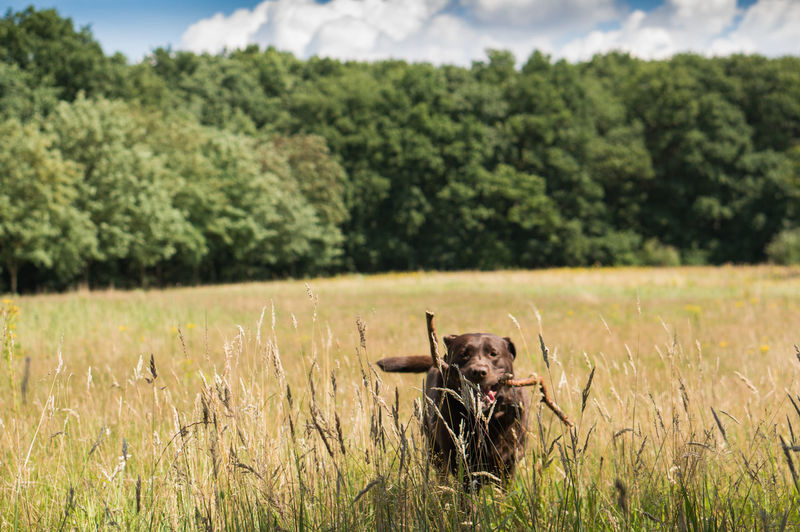 Chocolate labrador with stick in mouth on field against trees