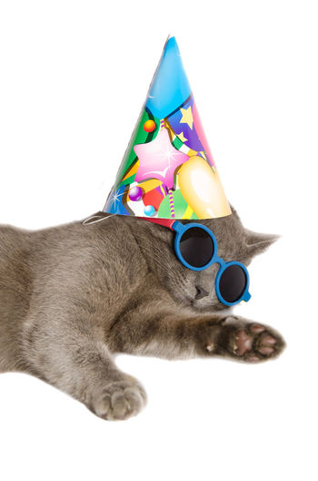 Cat with birthday hat and sunglasses isolated on white background FUNNY ANIMALS Hat Animal Animal Themes Birthday Cat Chartreux Close-up Crazy Animals  Domestic Animals Domestic Cat Feline Festive Funny Faces Happy Birthday! Leisure Mammal One Animal Pet Pets Studio Shot Sunglass  Sunglasses Whisker White Background