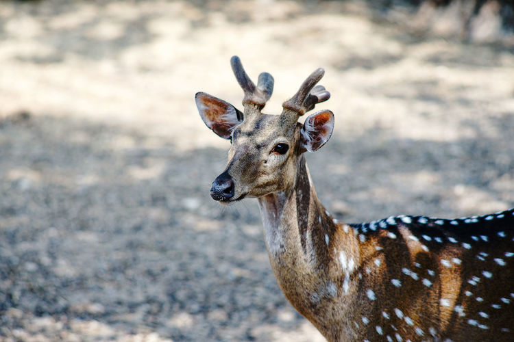 Photos of wild deer animals that are looking at something.