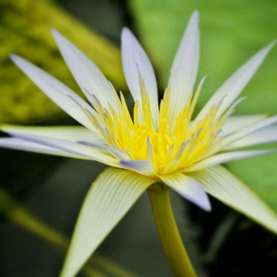Colour Of Life Water Lily Water Lily Flower White Flower White And Yellow