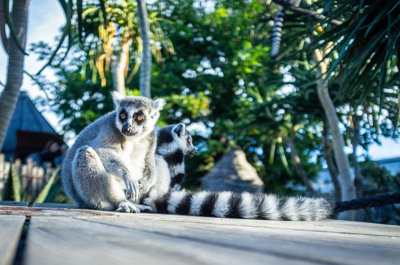 Lemurs looking away while sitting on floorboard