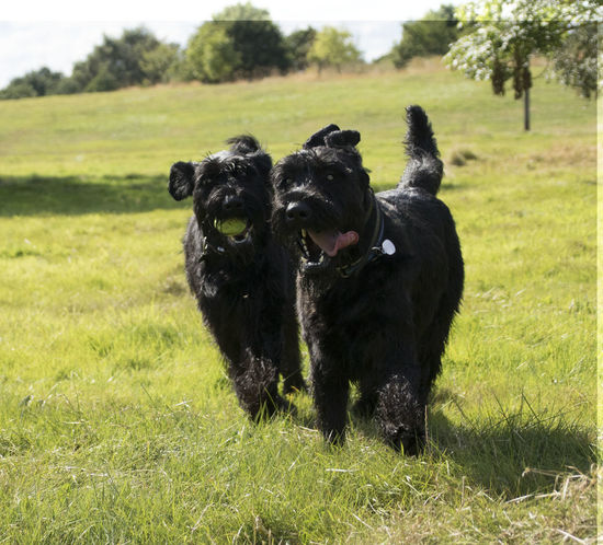 Animal Themes Black Color Day Dog Dog Life Dog Running Dog Running Towards Photographer Dog❤ Domestic Animals Field Friendship Giant Schnauzer Grass Green Color Growth Mammal Nature No People Outdoors Pets Schnauzer Schnauzers Togetherness