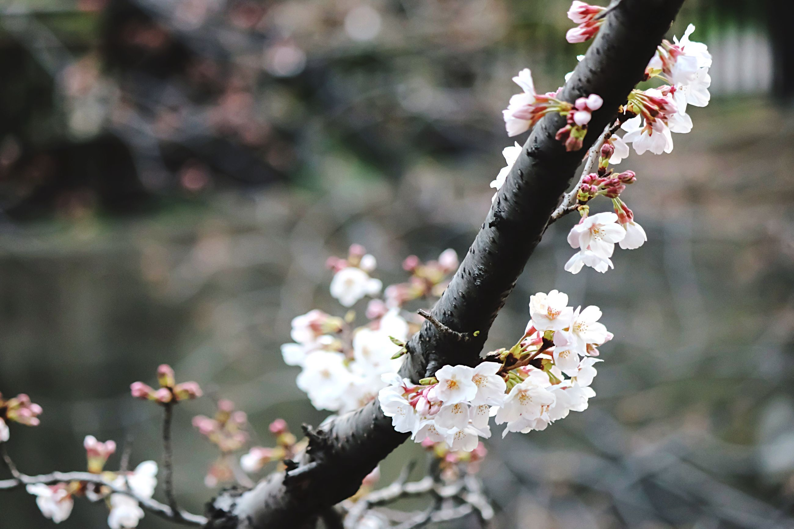 flower, focus on foreground, branch, tree, fragility, freshness, growth, nature, cherry blossom, beauty in nature, close-up, twig, cherry tree, white color, blossom, petal, springtime, insect, outdoors, day