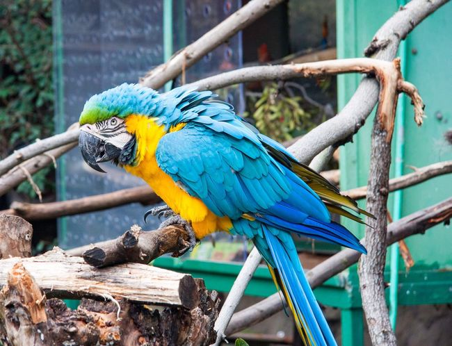 Macaw Bird Gold And Blue Macaw Parrot Perching Animal Themes Branch Animal Wildlife Outdoors Animals In The Wild No People Close-up Day