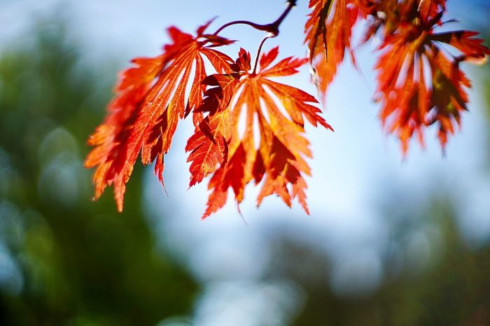 Autumn 🍂 Leaves Autumn Leaves EyeEm Selects Plant Leaf Plant Part Close-up Beauty In Nature No People Autumn Change Branch Outdoors Vulnerability  Tranquility Fragility Growth Orange Color Focus On Foreground Day Red Nature Tree