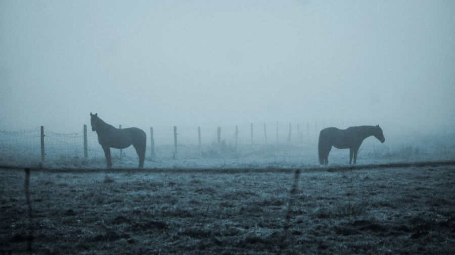 Horses in a field during foggy weather