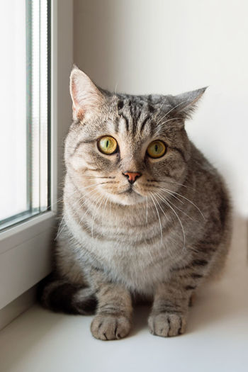 Close-up portrait of tabby cat at home