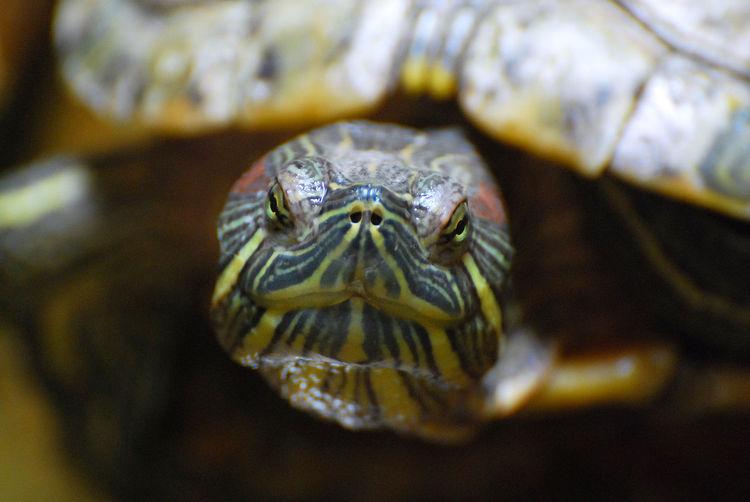 The Turtle head
