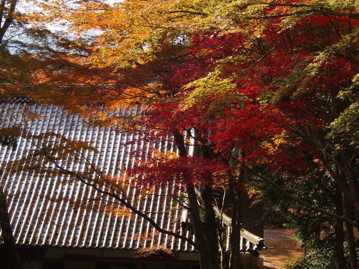 Autumn Beauty In Nature Buddhism Temple Change Fuki-ji Leaf Maple Tree Nature No People Oita Kunisa Tree