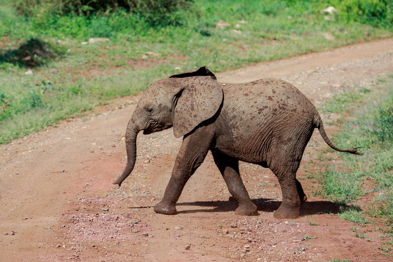 Side view of elephant walking on field
